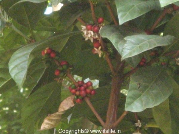 Ripe Coffee Bean