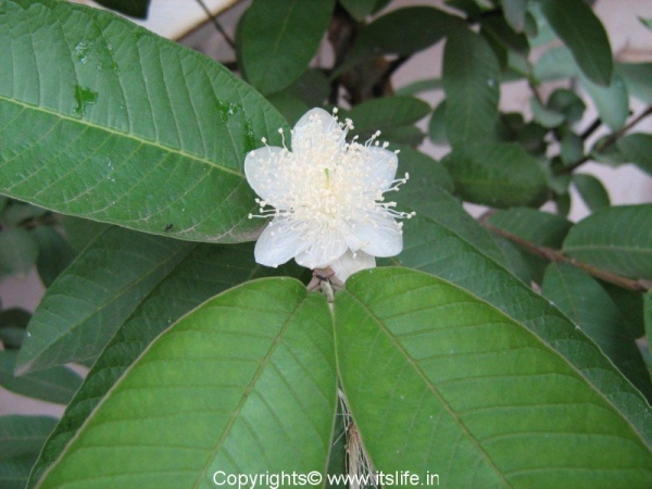 Guava Flower