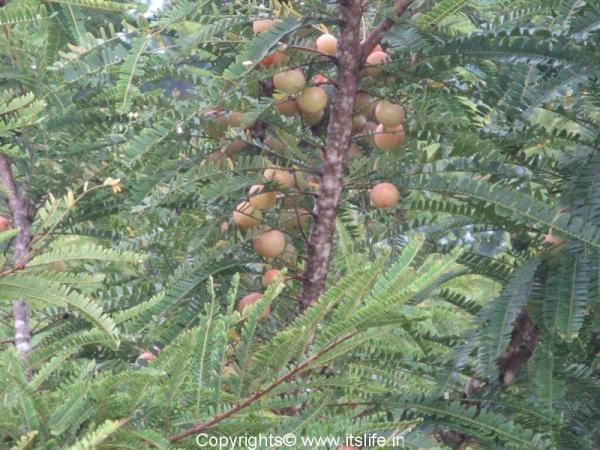 Indian Gooseberry Tree