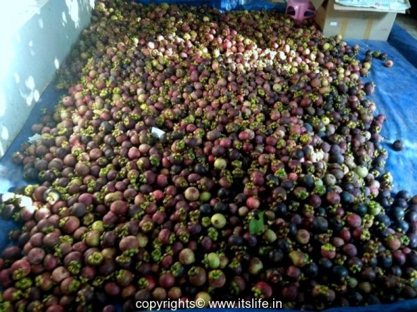 Mangosteen Harvest