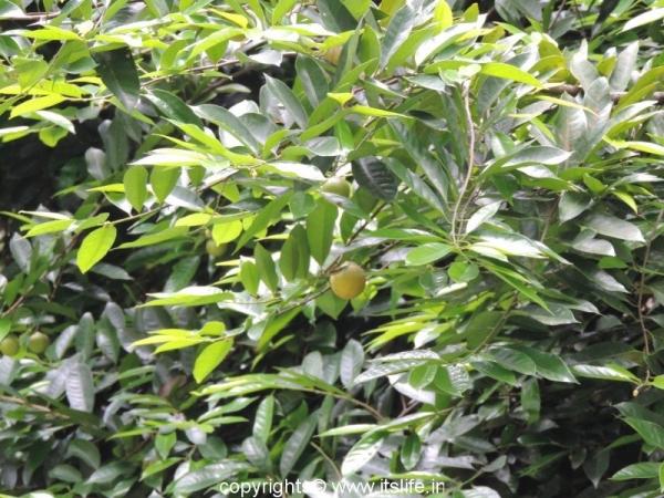 Nutmeg Leaves