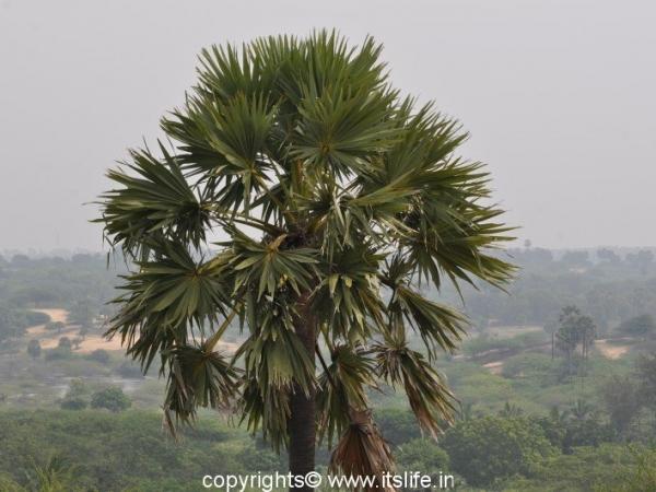 Palmyra Palm Tree
