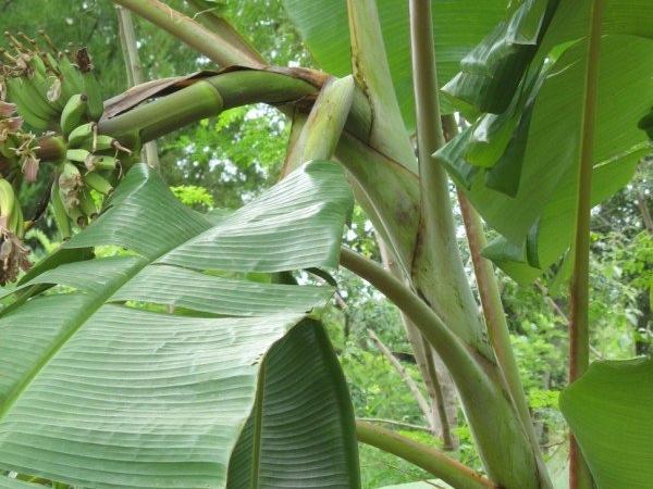 Banana - Plantain