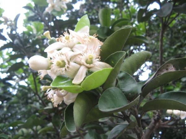 Pomelo Flower