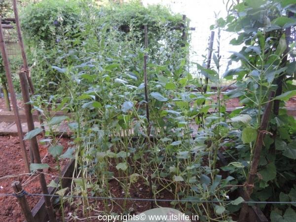 Sesame Seeds Plant