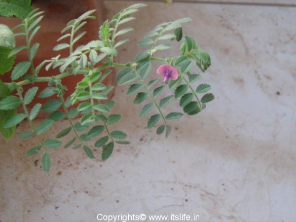 Chickpea Flower