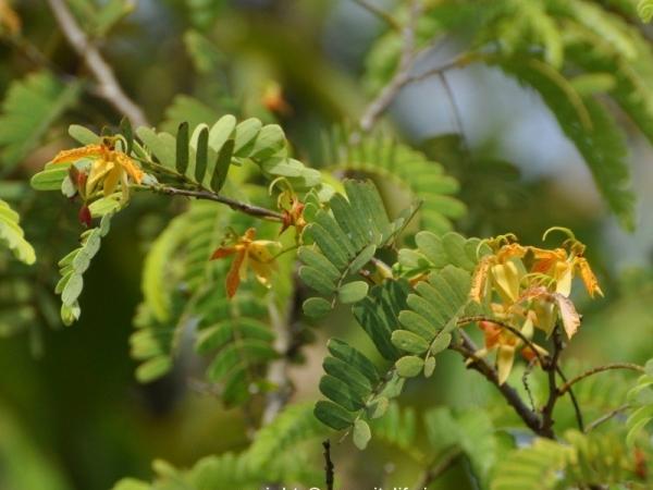 Tamarind Flower