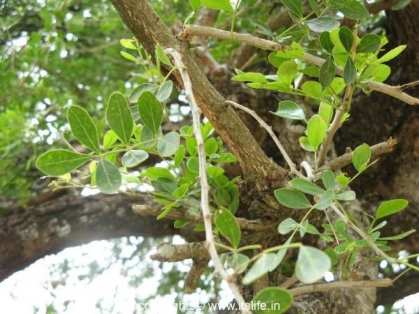 Wood Apple Tree