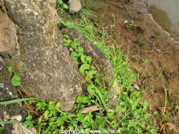 Centella Asiatica