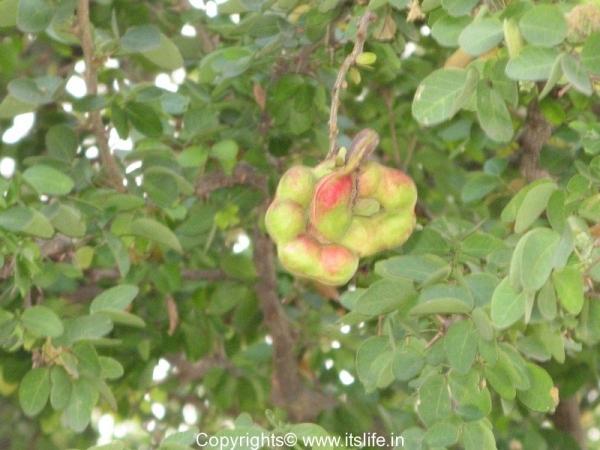 Madras Thorn