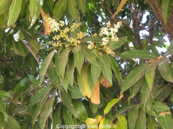 mango-flowers