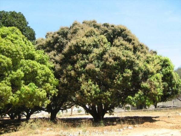 mango-trees