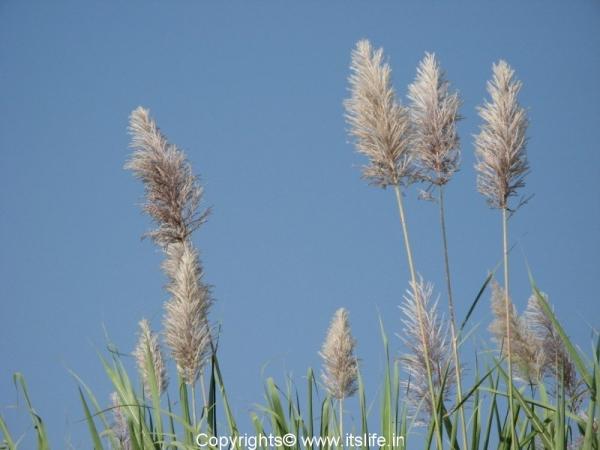 Sugarcane Flower