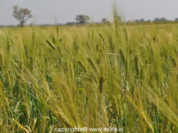 Wheat Plant