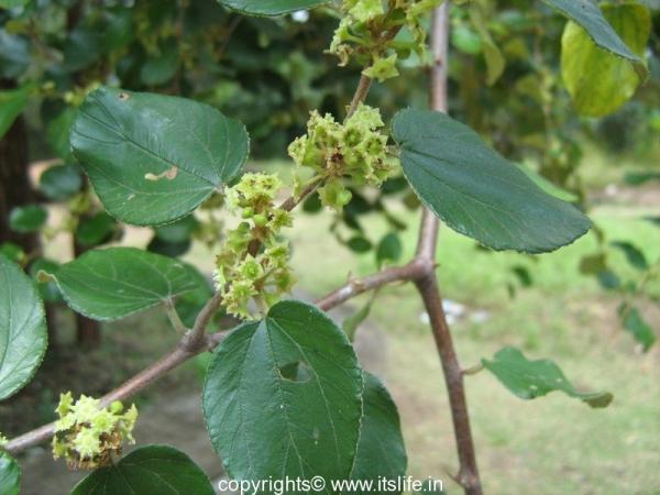 Yelachi Hannu Flower - Indian Jujube Flower
