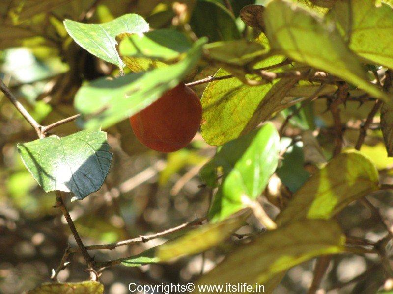 Chinese Apple | Indian Jujube Tree | Indian plum | Ber Tree