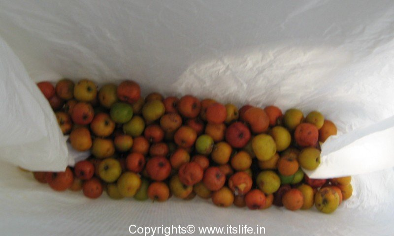 Chinese Apple | Indian Jujube Tree | Indian plum | Ber Tree