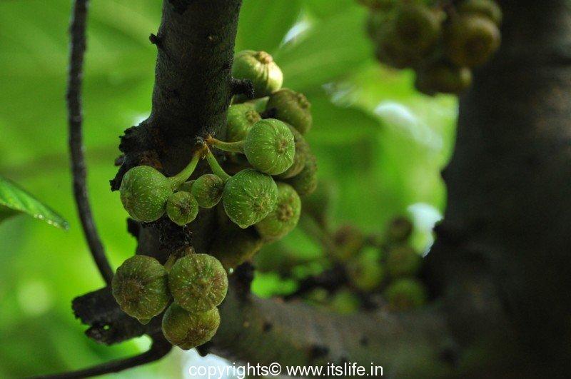 Fig Tree Itslife