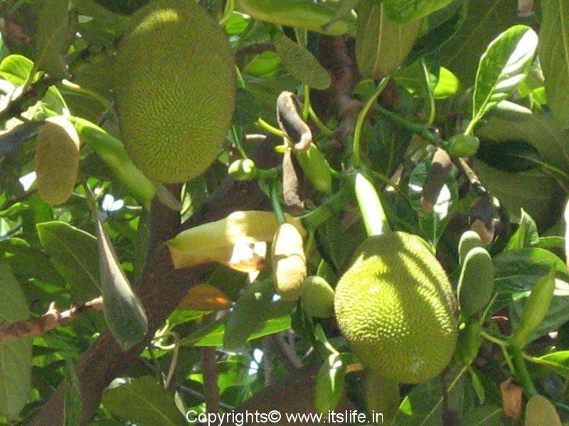 Ordinary Male And Female Fruit Trees Part - 7: Jackfruit Tree