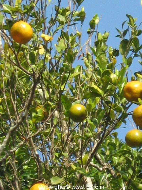 how to grow orange tree in india