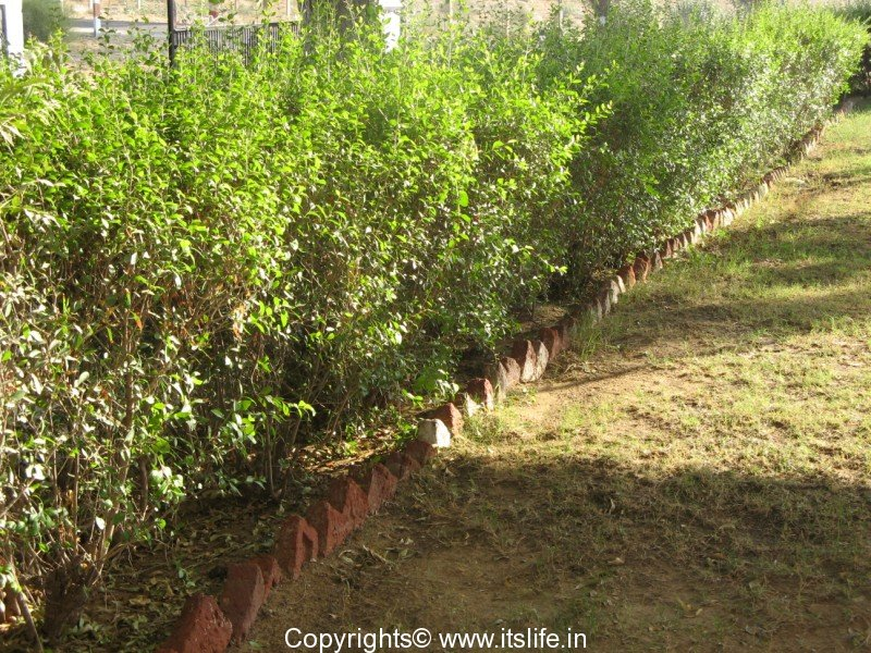 how to grow henna plant in tamil