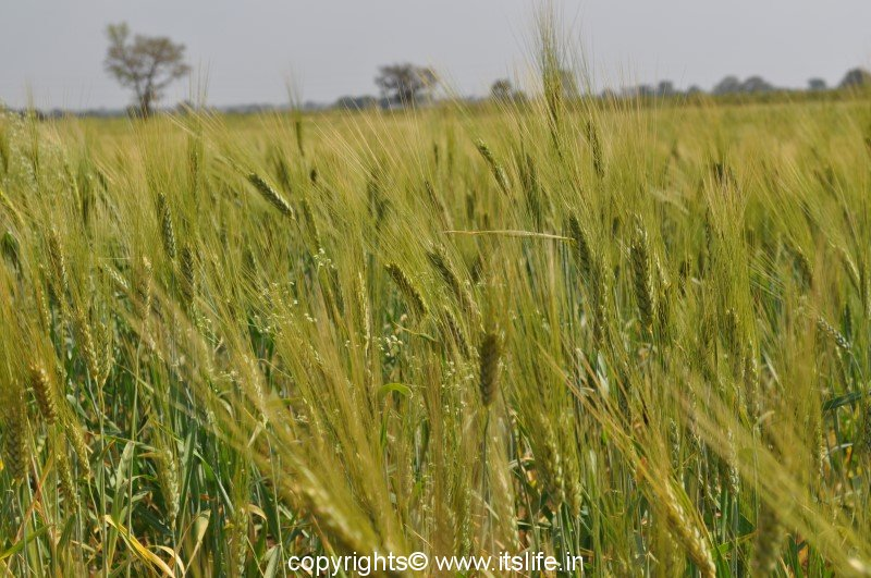 wheat gehun goduma godi bahudugdha arupa triticum aestivum