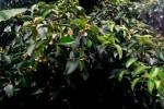Mangosteen Flowers