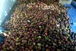 Mangosteen Harvest