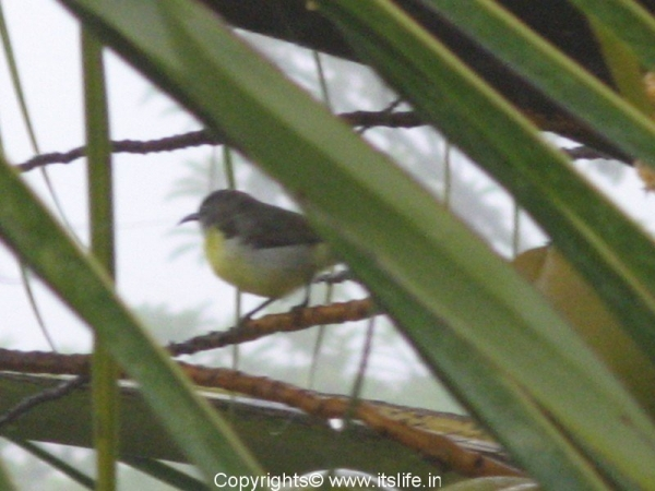purple-rumped-sunbird-female