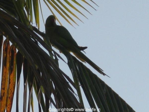 khkere-parrot