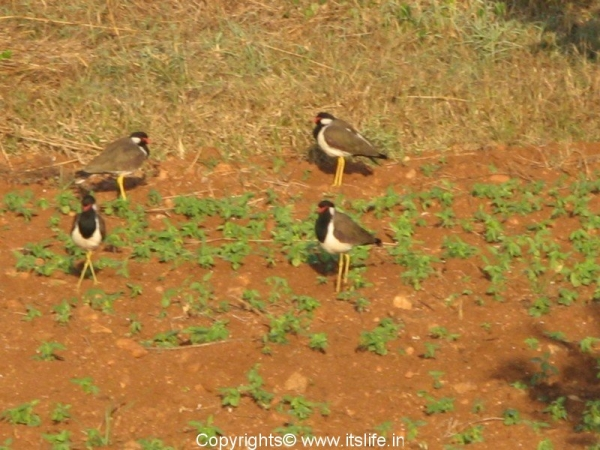 red-watled-lapwing