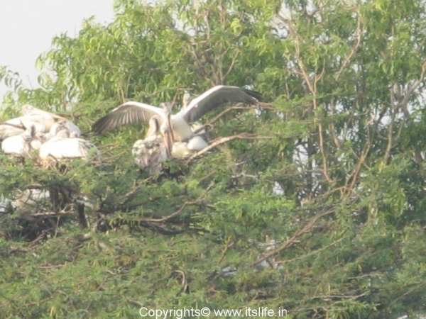 spot-billed-pelican