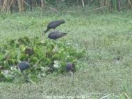 travel-khkere-glossy-ibis-4.jpg