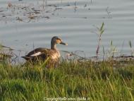 travel-khkere-spot-billed-duck-3.jpg