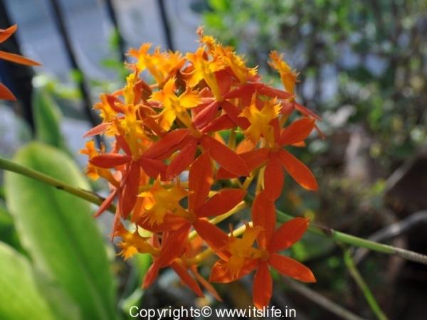 Crucifix Orchid
