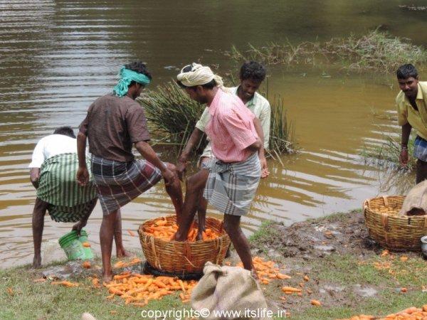 Washing carrots in Kodaikanal
