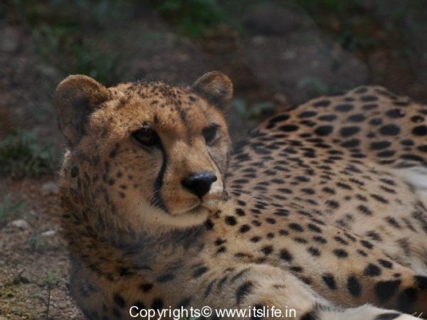 Cheetah in Mysore Zoo