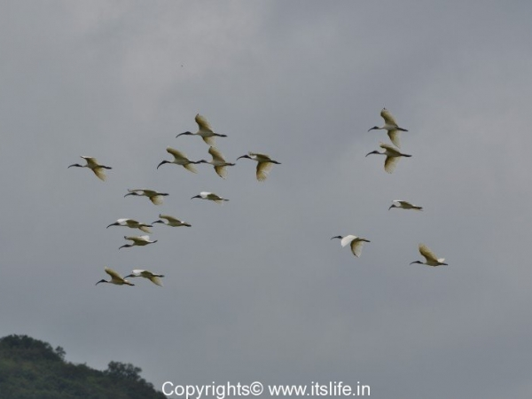 lp-ibis