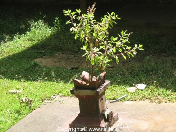 Tulasi Katte - Holy Basil Plant