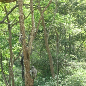 B.R.Hills - Langur