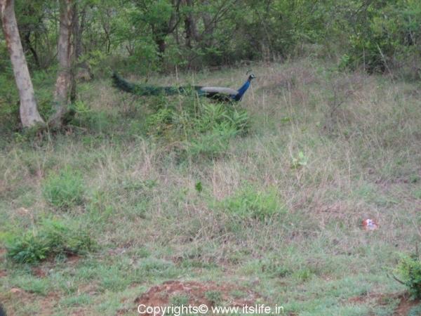B.R.Hills - Peacock