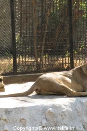 Lions - Mysore Zoo