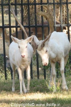White Deers - Mysore Zoo