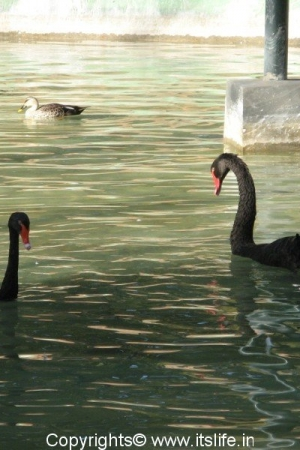 Black Swan - Mysore Zoo