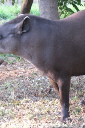 Tapir - Mysore Zoo