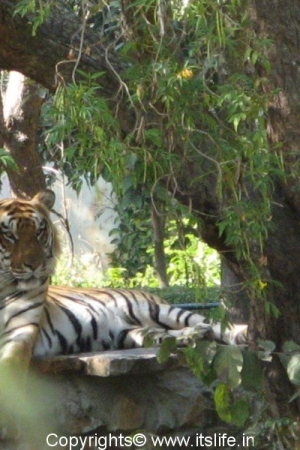 Tiger - Mysore Zoo