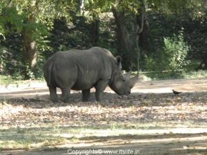 Rhino - Mysore Zoo