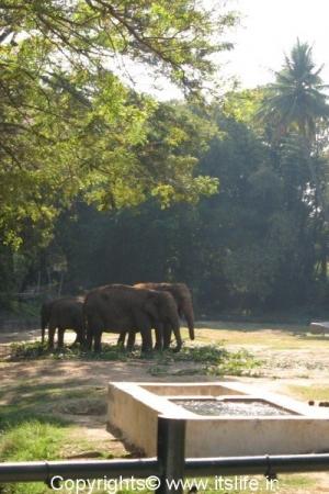 Elephants - Mysore Zoo