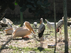 Pelicans and Painted Storks