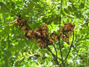 Gulgangi Tree